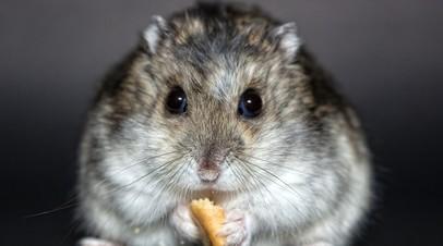Вирусолог оценил вероятность инфицирования COVID-19 от домашних грызунов