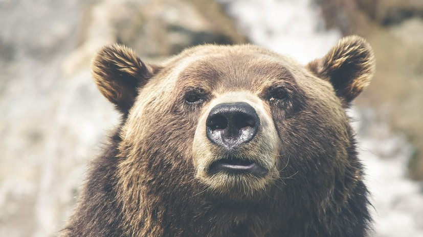 Житель Камчатки госпитализирован после нападения медведя