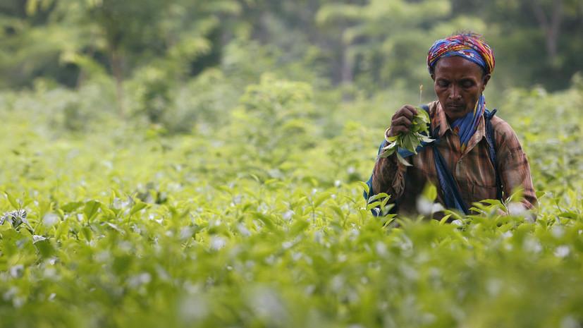 Закипающие цены: как обострение ситуации с COVID-19 в Индии спровоцировало удорожание чая в мире