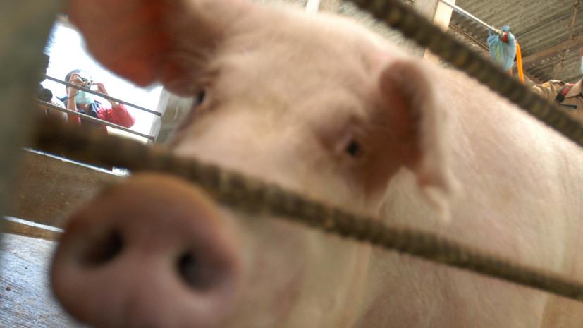 В районе Приморья ввели карантин из-за африканской чумы свиней