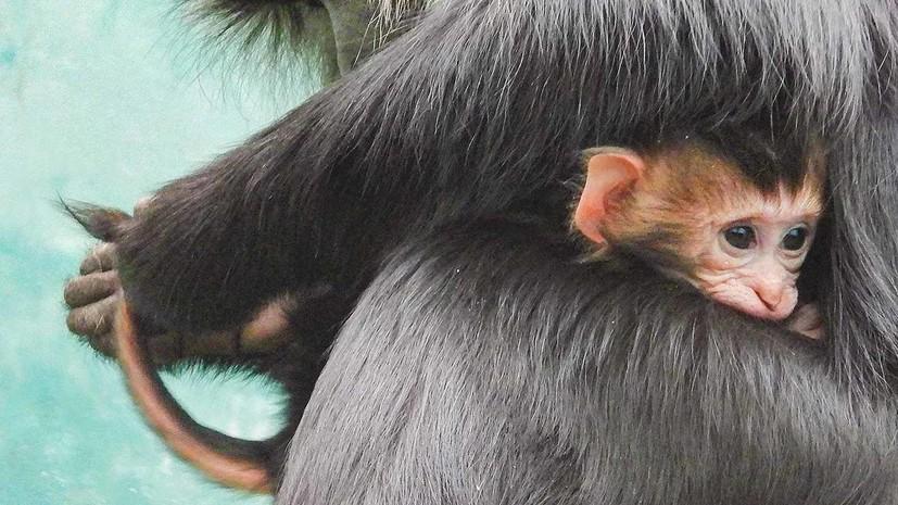 В Московском зоопарке появился на свет детёныш обезьян вандеру