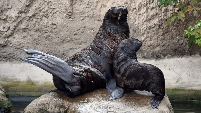 В Московском зоопарке родился детёныш северного морского котика