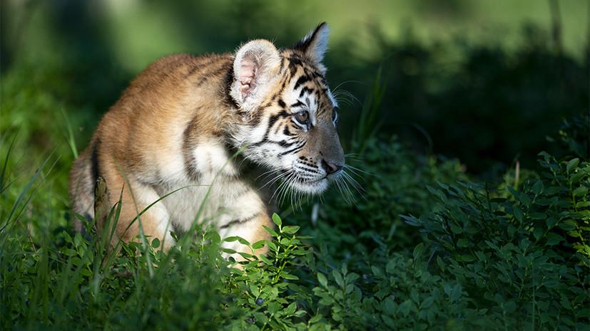 В Московском зоопарке родились четыре амурских тигрёнка