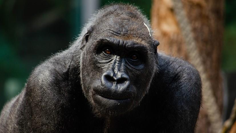 В Мадриде горилла в зоопарке тяжело травмировала сотрудницу