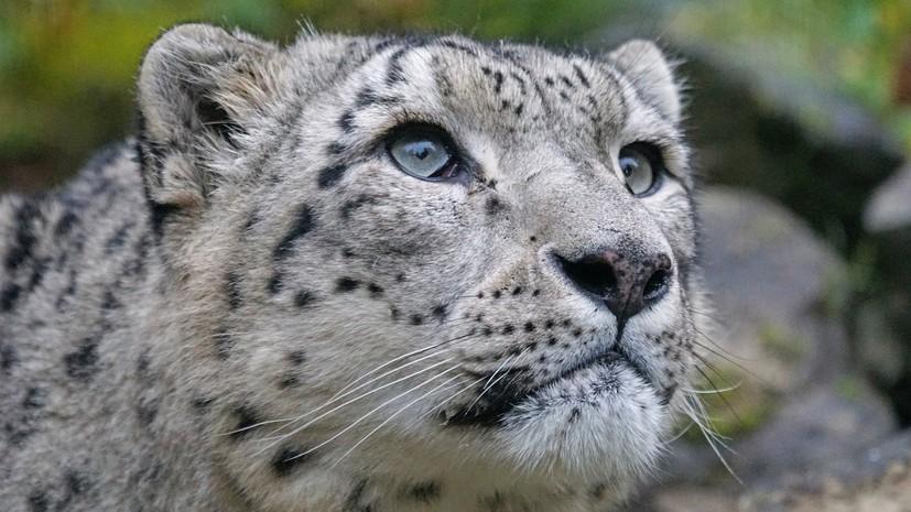 В WWF прокомментировали ситуацию со снежными барсами в России