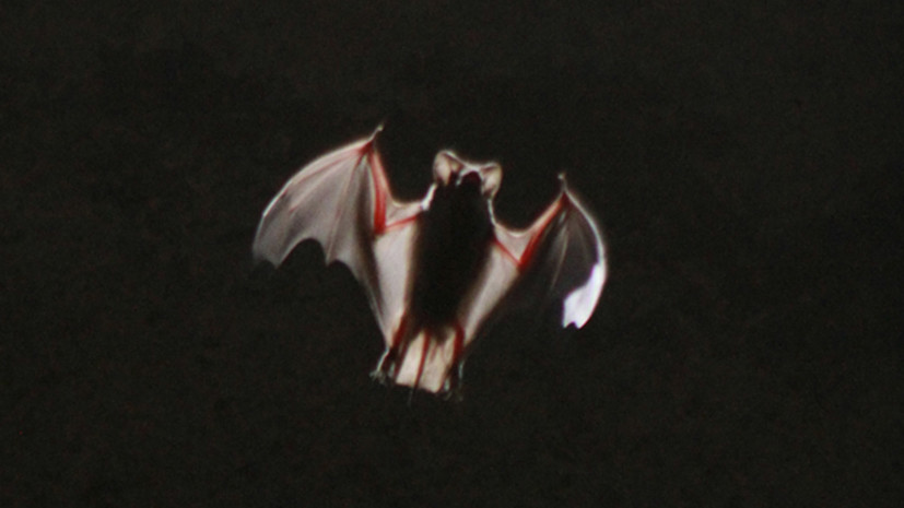 Учёные выявили коронавирусы у летучих мышей в России