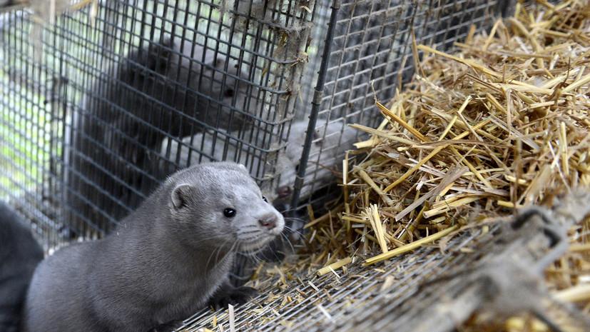 Во Франции из-за COVID-19 уничтожат 1000 животных на норковой ферме