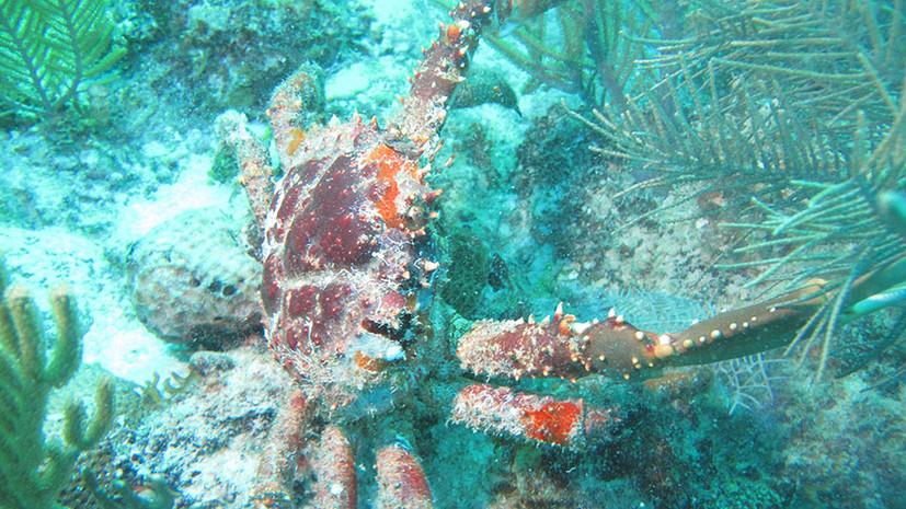 Борьба с морскими сорняками: как крабы способствуют восстановлению коралловых рифов