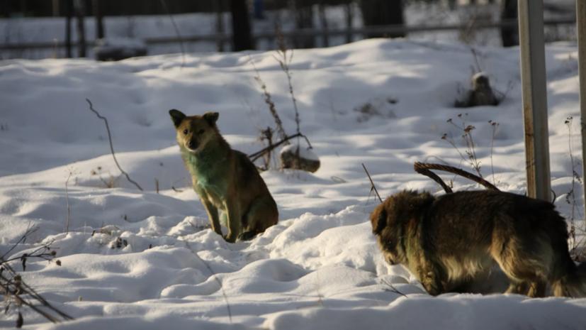 В Красноярске СК проводит проверку по факту нападения бездомных собак на ребёнка