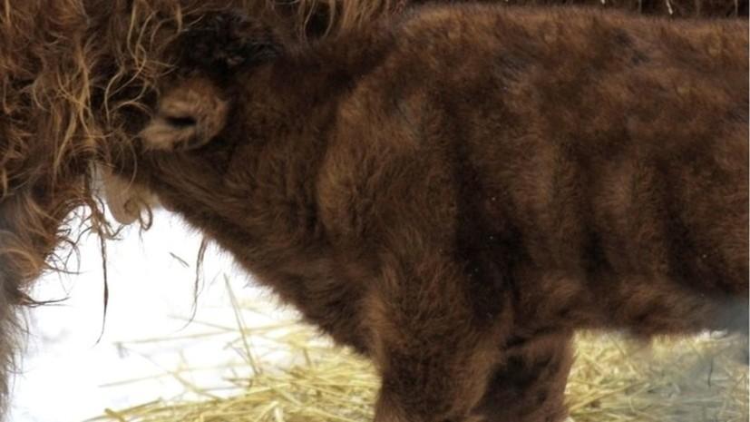 В нижегородском зоопарке родился телёнок шотландской породы хайленд