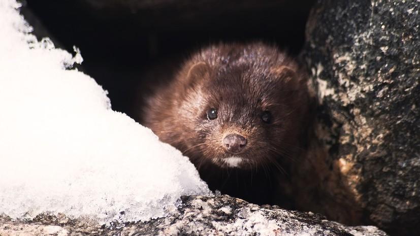 В Удмуртии зверохозяйства получили 40 млн рублей на сохранение поголовья норок