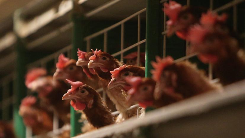 В Киевской области зафиксирована вспышка птичьего гриппа