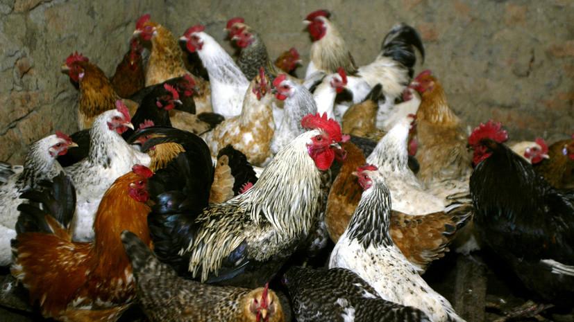 На астраханской птицефабрике рассказали о вспышке птичьего гриппа
