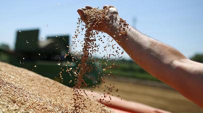 Зёрна пшеницы во время уборки урожая на полях АО «Рассвет» в Краснодарском крае