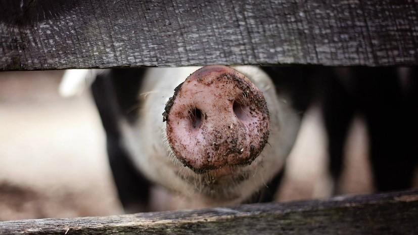 В Коми выявили очаг заражения африканской чумой свиней