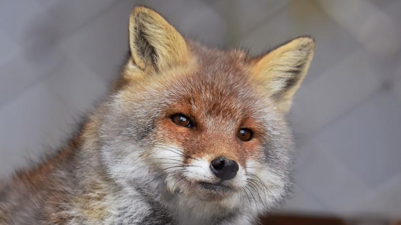 В Саратове введён карантин из-за бешенства лисы