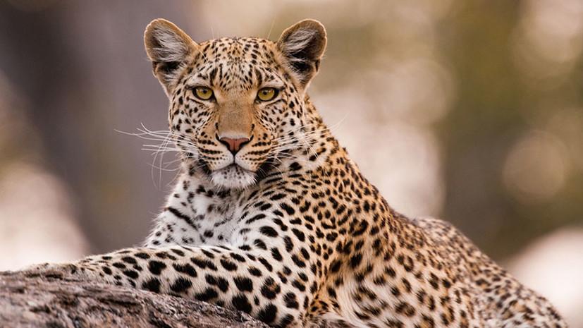 Спасти от вымирания: как геномное исследование поможет восстановить популяцию амурских леопардов