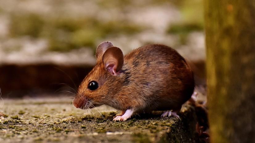 Роспотребнадзор рассказал о ситуации с мышиной лихорадкой в России