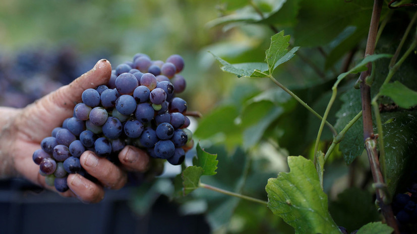 Аграрии Севастополя планируют заложить ещё 200 га виноградников в 2021 году