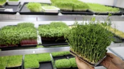 Агроном рассказала о полезных свойствах микрозелени