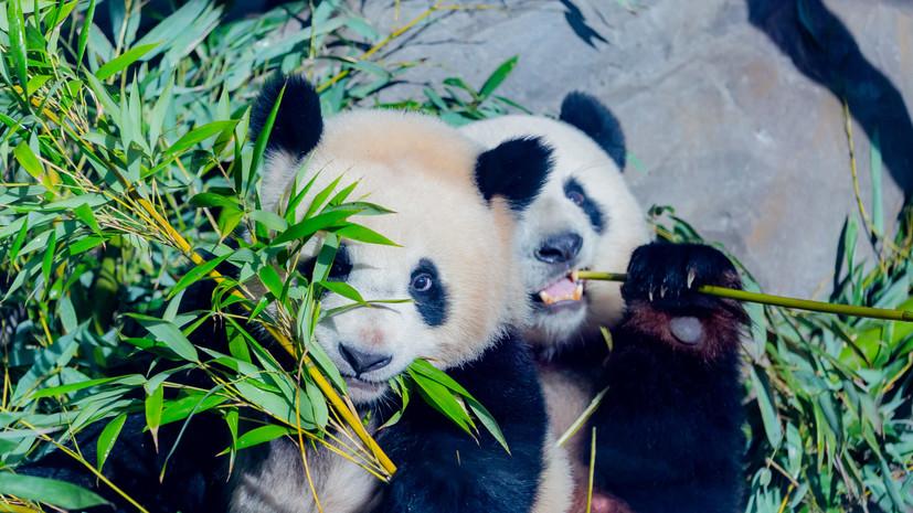 Панды Московского зоопарка получили игрушки в День защиты детей