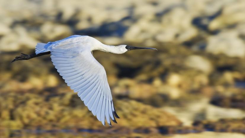 В Приморье возросла численность одной из редчайших птиц России