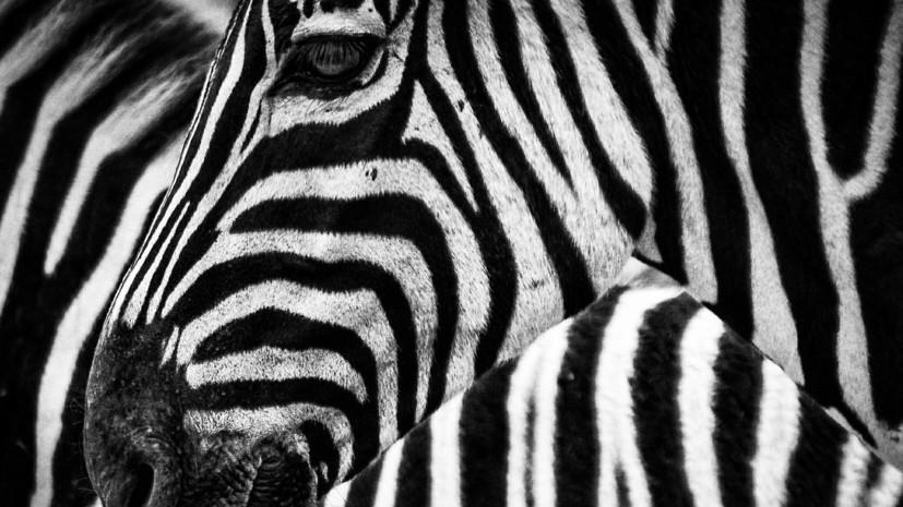 В Московский зоопарк привезли двух зебр из Чехии