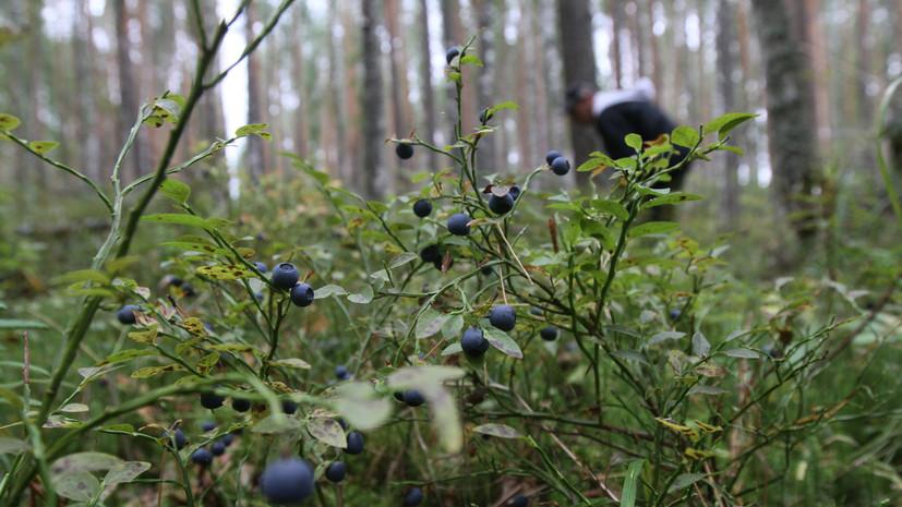 В лесах России собрали 338 тонн плодов и ягод в 2020 году
