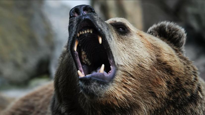 В Красноярском крае застрелили напавшего на туристов медведя