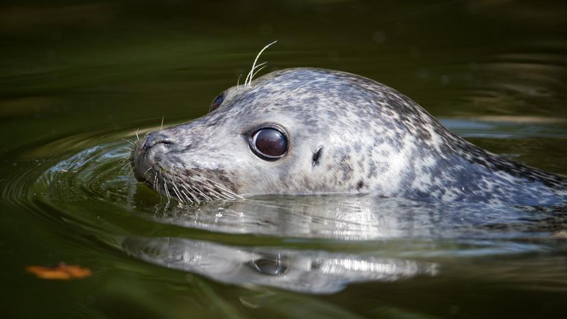 В Приморье выпустили в открытое море шестерых спасённых тюленей