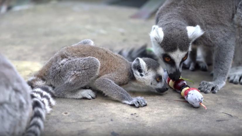 В Московском зоопарке родился детёныш редкого кошачьего лемура