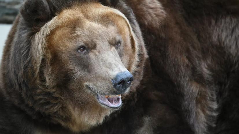 В «Ергаках» убит медведь,обнаруженный рядом с местом нападения на туристов