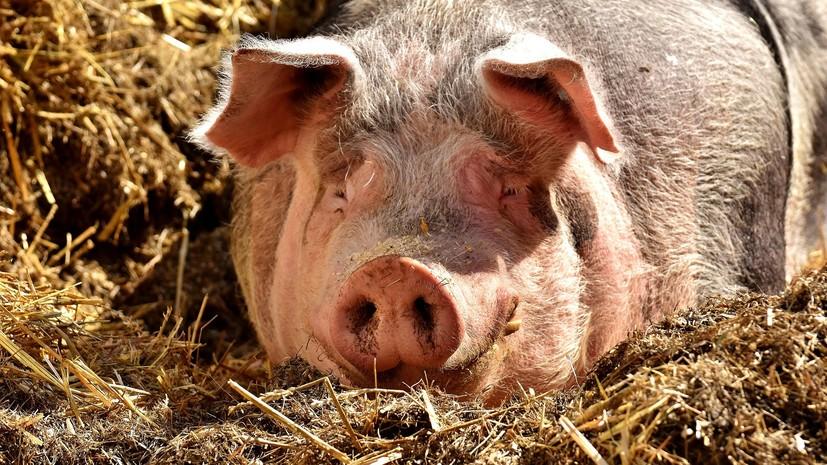 В Америке впервые за 40 лет зафиксирована африканская чума свиней