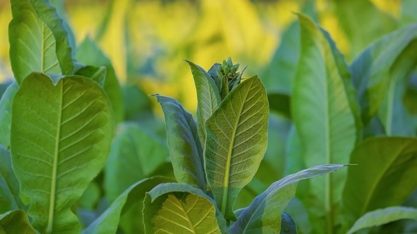 Россельхознадзор отменил запрет на импорт табачного сырья из Индии