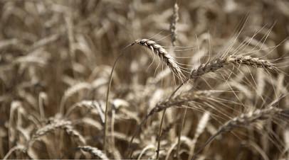 Во ВНИИ ГОЧС опасаются гибели сельхозкультур вследствие засухи