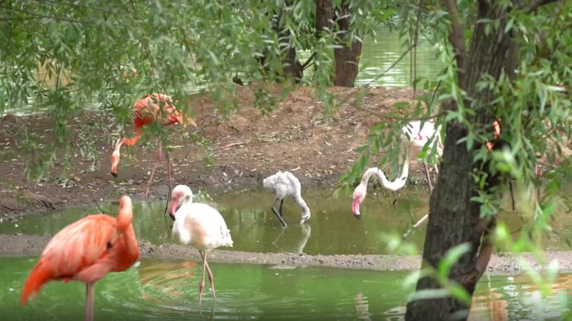 В Московском зоопарке рассказали о рождении пяти птенцов фламинго