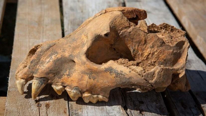 В Крыму в пещере Таврида обнаружен череп гигантской гиены