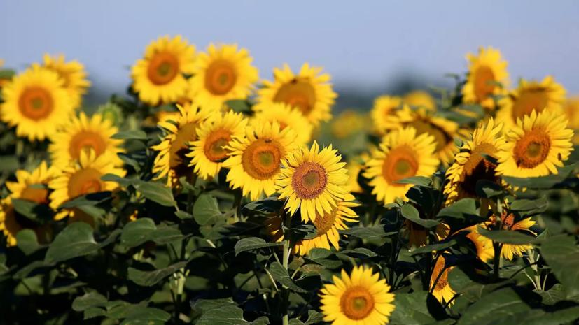 Власти Крыма рассказали о темпах сбора урожая подсолнечника