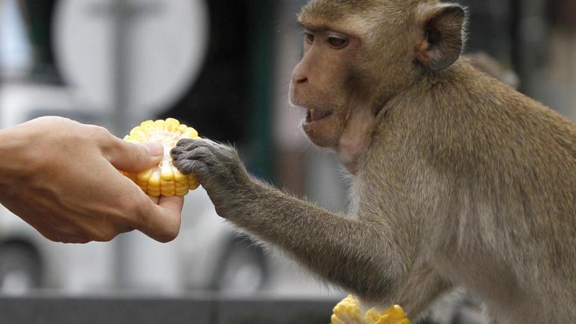 Тайская полиция за эксплуатацию обезьян посадила за решетку россиян