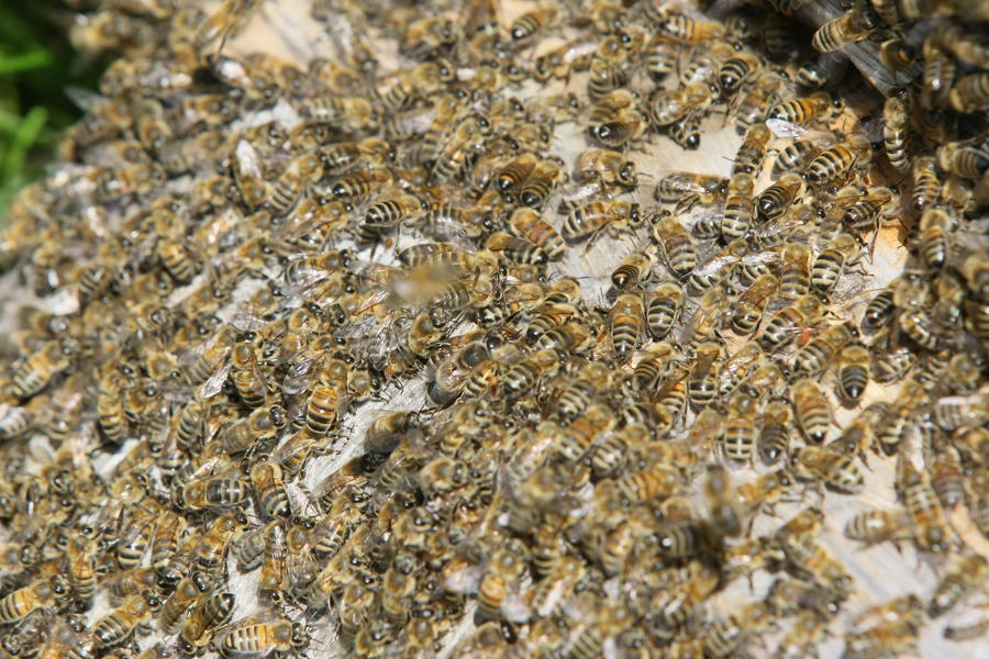 В США перевернулся грузовик с миллионами пчёл