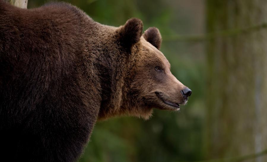 Голодные дикие медведи объедают жителей Греции