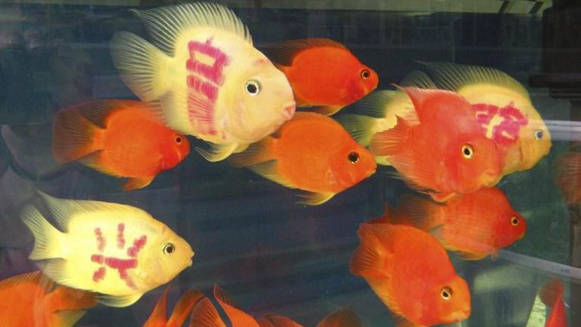 Британская гостиница подселяет золотую рыбку в номера к одиноким постояльцам