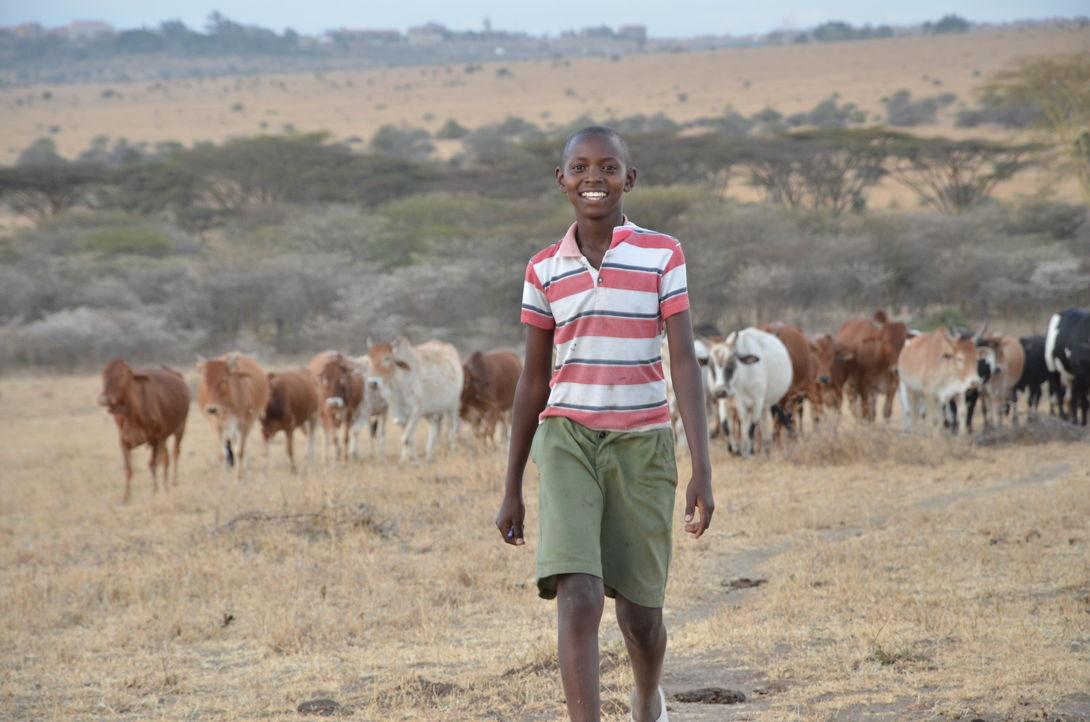 Кенийский мальчик в одиночку защитил стадо коров от голодных львов