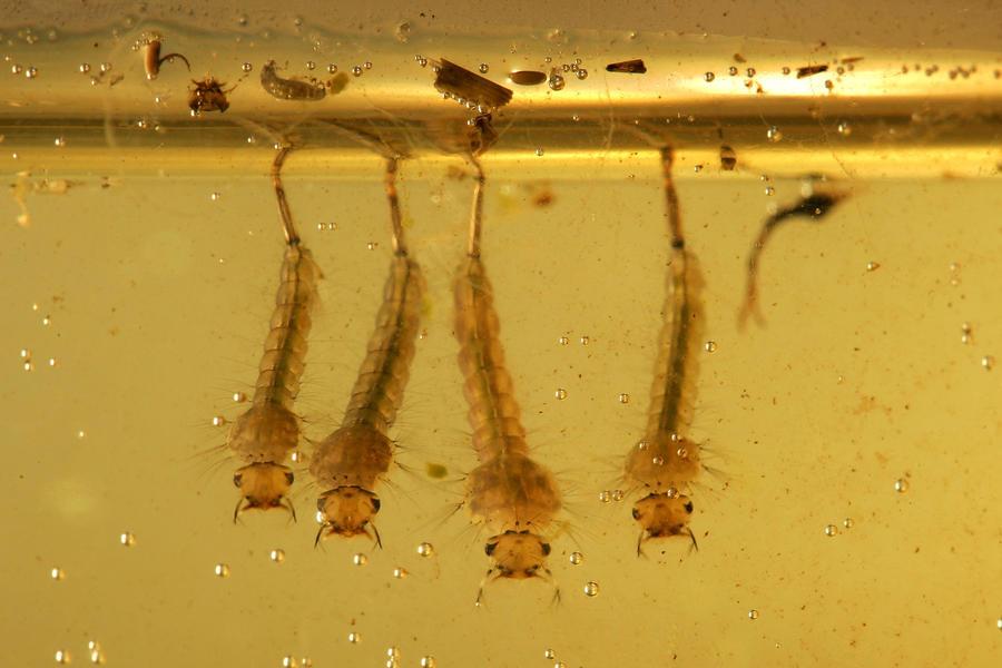 Гигантские саблезубые комары атакуют Флориду