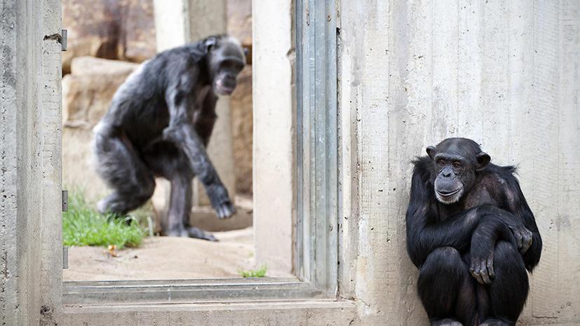 В США подопытных шимпанзе отправят на пенсию