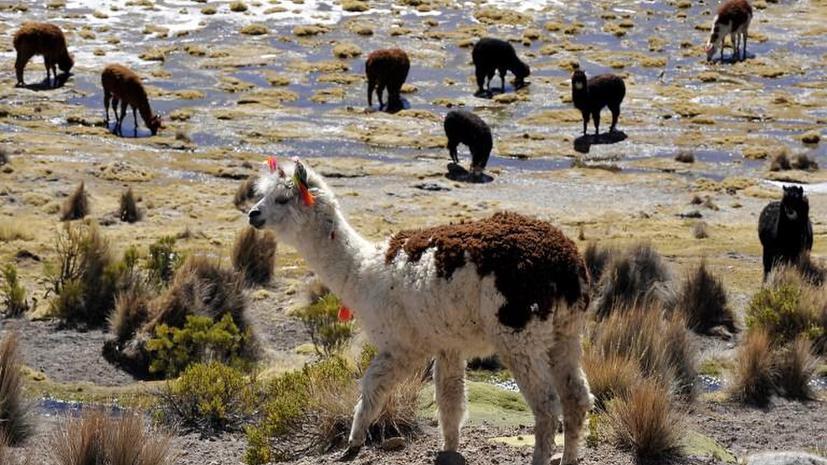 В Швеции ламы будут охранять овец