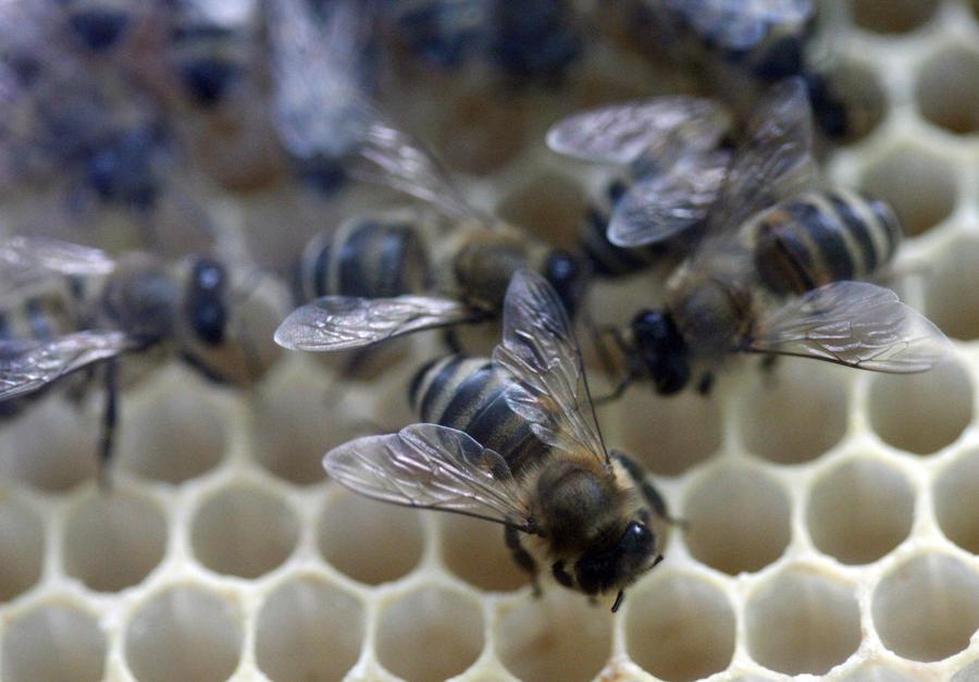 Пчелы в США вымирают рекордными темпами