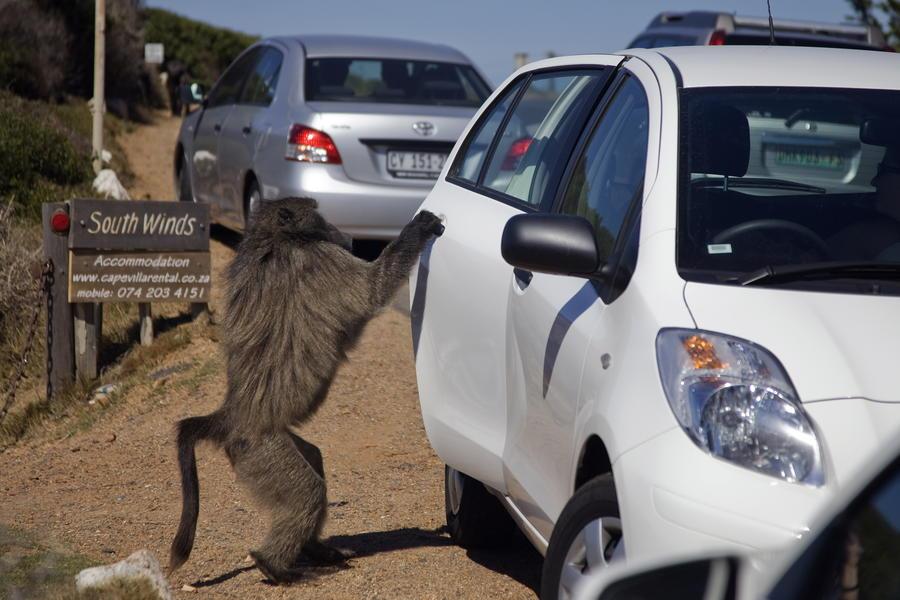 Жители Кейптауна ведут борьбу с павианами-грабителями