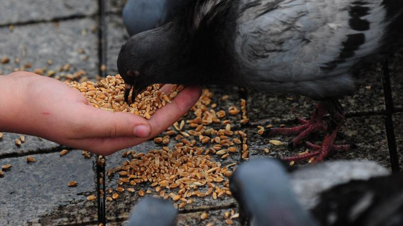 В Чикаго за кормление голубей могут посадить в тюрьму