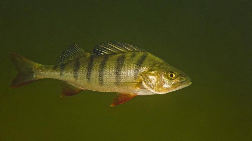 Антидепрессанты делают рыб прожорливыми и агрессивными